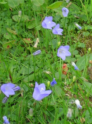 Harebells growing on the hill in 2010 | Gill Clements